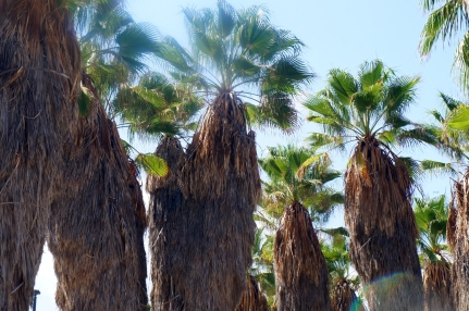 Palm trees of Tel Aviv. Photo by Simon Wilder